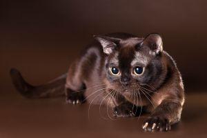 Бурманская коричневая кошка