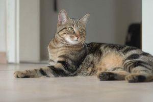 Кельтская полосатая кошка