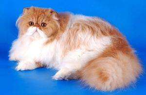Персидская кошка с оранжевыми пятнами