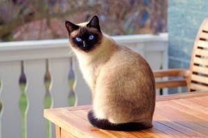 Сиамский кот на веранде
