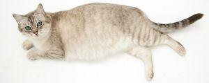 Беременная кошка на белом фоне