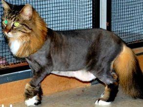 Коричневый длинношерстный кот с частичной стрижкой туловища стоит на фоне клеток