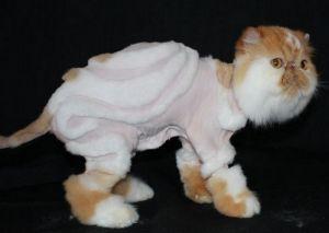 Кот экзот с выстриженными узорами на спине стоит на черном фоне