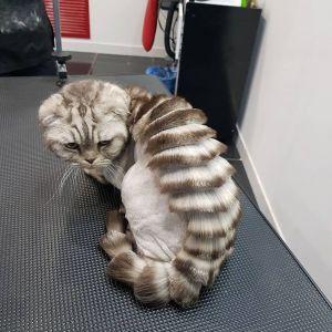 Мраморный вислоухий кот со стрижкой широкий ирокез на спине сидит на кушетке