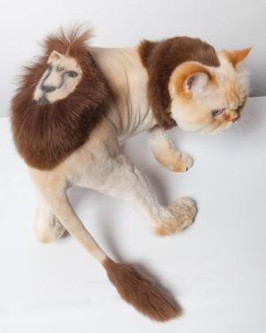 Рыжий кот с рисунком льва на спинке и с короткой стрижкой стоит на белом столе