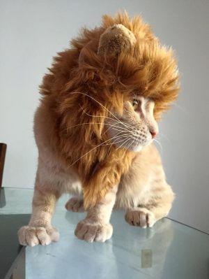 Рыжий кот со стрижкой грива льва стоит на стеклянном столе