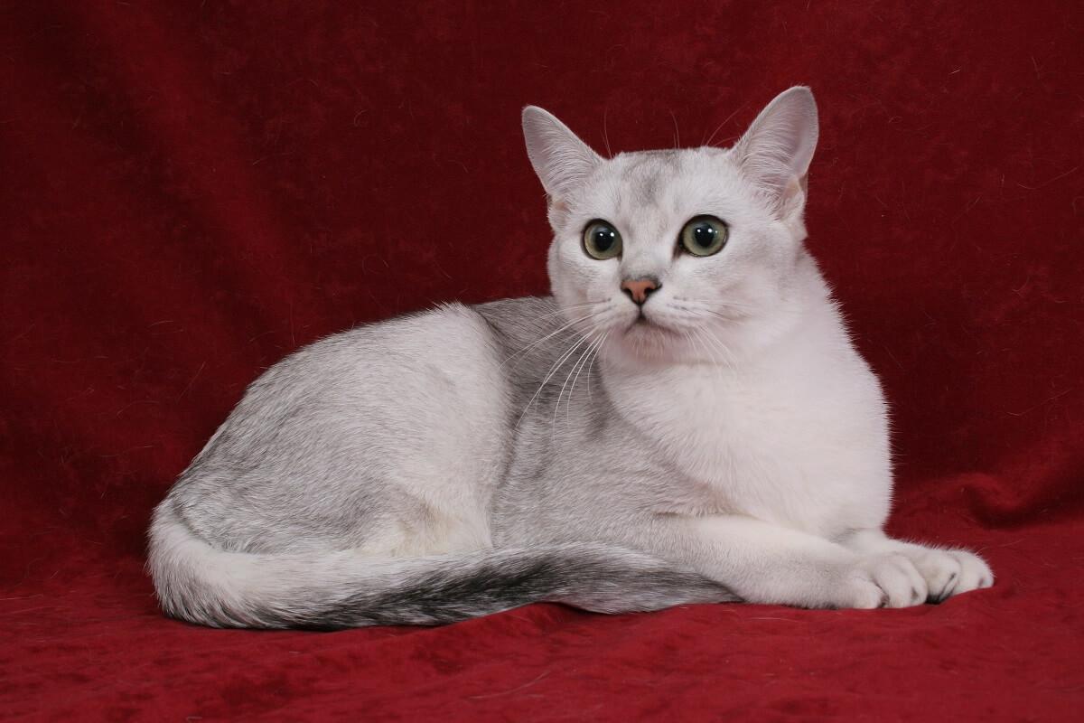 все порода кошек бурмилла короткошерстная картинки сытное мясное блюдо