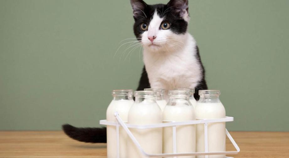 Можно ли кошкам и котам давать молоко?