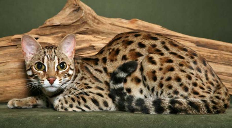 Азиатская леопардовая кошка – описание вида, фото, условия содержания.