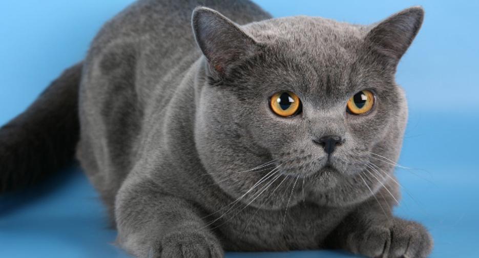 Британские вислоухие кошки: описание породы, характер, фото