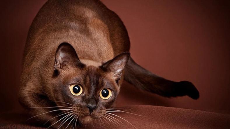 Бурманская порода кошек: описание, характер, фотографии