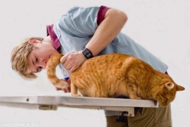 Главные симптомы и лечение геморроя у кота. Геморрой у кошки – разбираемся с деликатным недугом Бывает ли геморрой у кошек