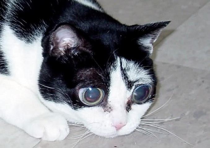 Глаукома у кошек симптомы и лечение фото thumbnail