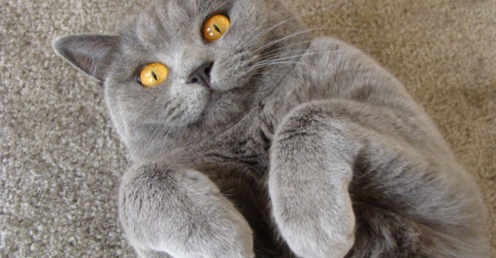 Как понять что кошка беременна в домашних условиях: признаки, поведение, как выглядит?