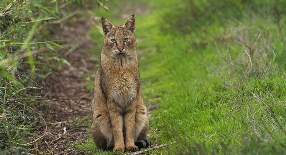 Камышовая кошка хаус болотная кошка