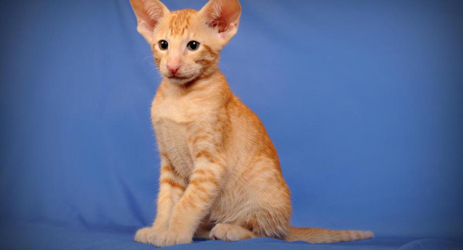 Ориентальная кошка - 83 фото крайне разговорчивой породы