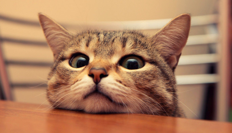 Как мурчат кошки механизм