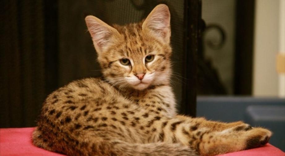 Порода кошек - Ашера: описание, фото, цена