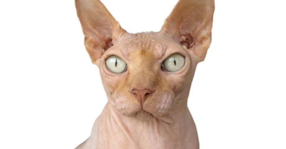Как называется кошка лысая