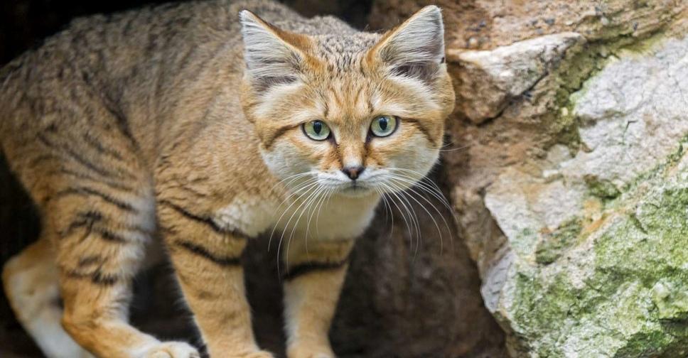 Барханный кот: фото, внешний вид, описание, характер и рацион