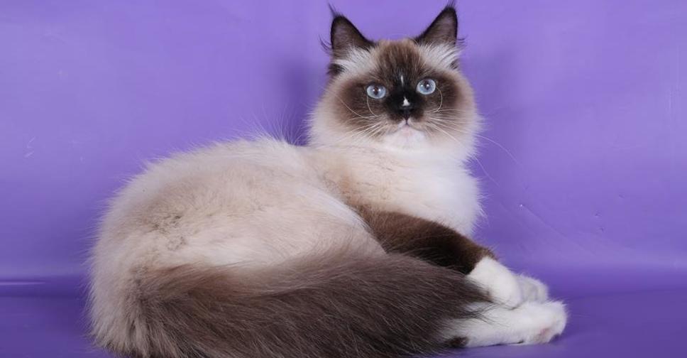 Невская маскарадная порода кошек: описание, характер