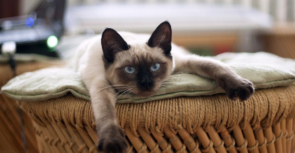 Тайская кошка описание породы и характер, цена и отзывы
