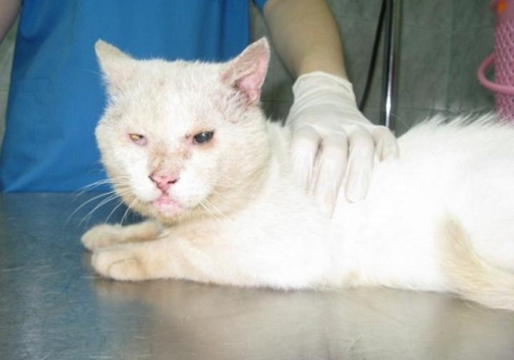 Нотоэдроз у кошек лечение препараты эффективные