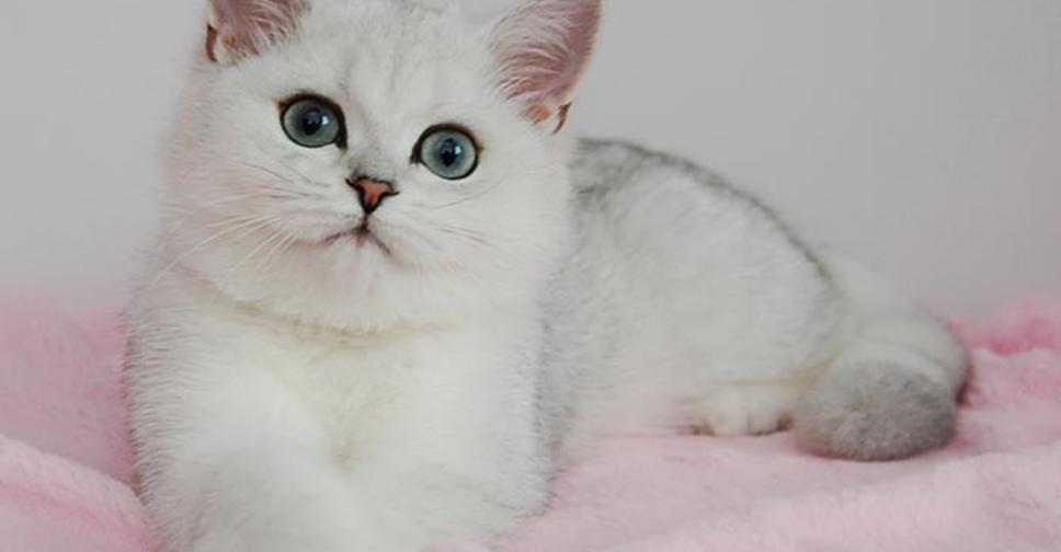 Британская шиншилла - характеристика породы кошек, уход, корм для котов, популярные окрасы