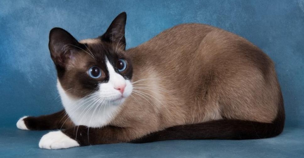 Сноу-шу – фото кошки, описание особенностей и характеристика породы сноу-шу