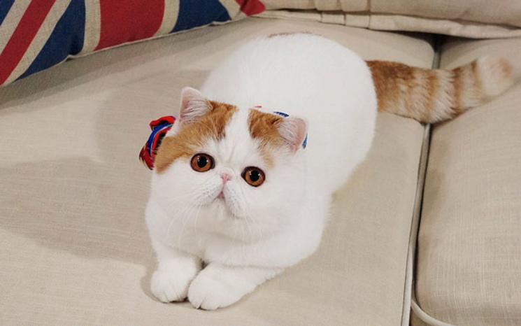 Снупи кот: порода, характеристики, уход