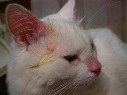 Передается ли стафилококк у кошек человеку Стафилококк у кошек симптомы заболевания