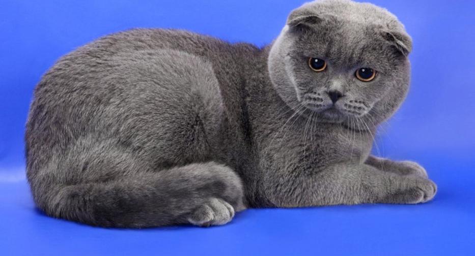 Как определить что у кошки началась течка
