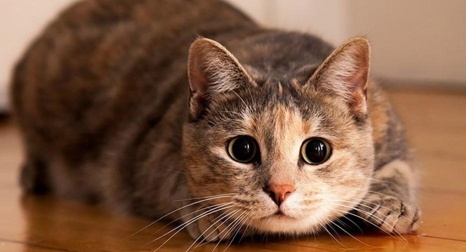 У кошки высокая температура 40, что делать в домашних условиях, как сбить, чем снизить, что дать коту