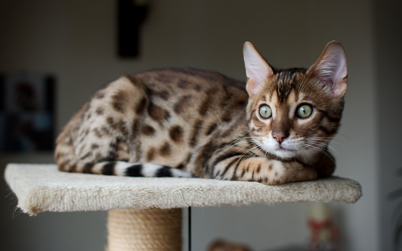 фото истощенной бенгальской кошки или