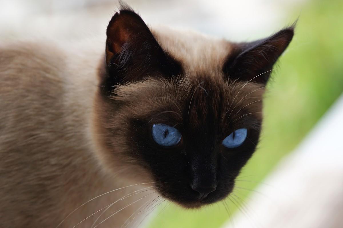 Кошки сиамские картинки, обнимашки