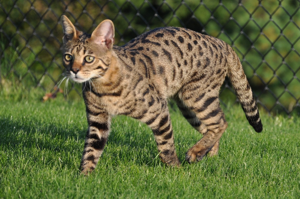 как породистые большие кошки картинках увидела