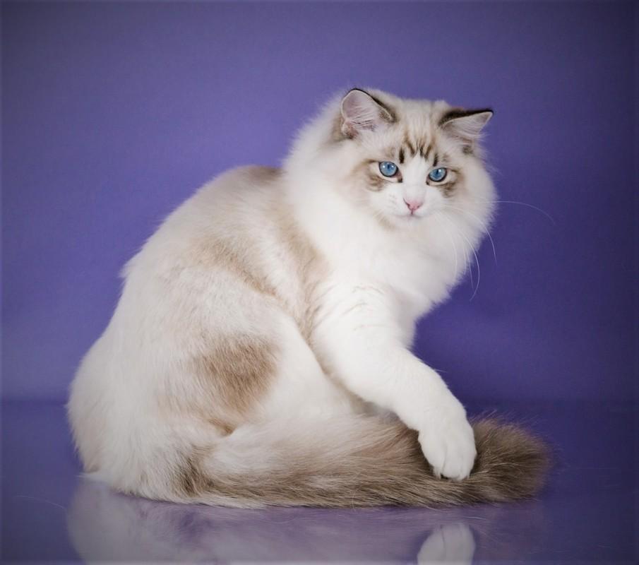 кошка рэгдолл голубая фото также питании уходе