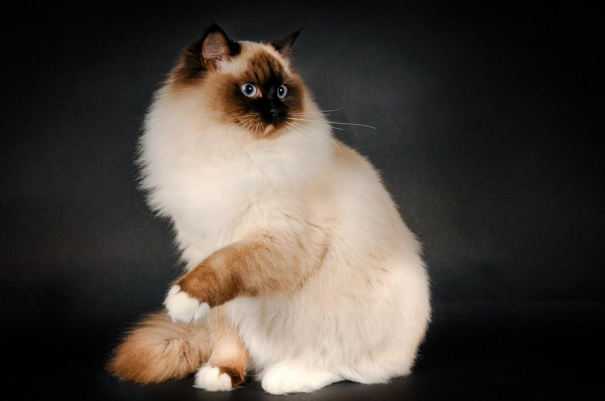 картинки кошек породистых пушистых интервью