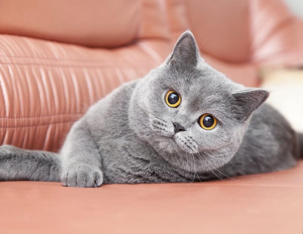 Картинки британских пород котята