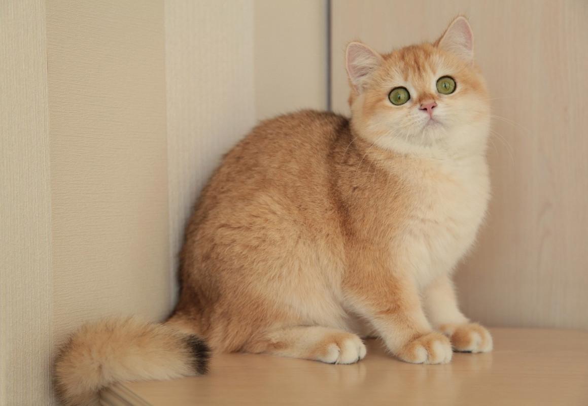 деталь кошка золотистая шиншилла фото того