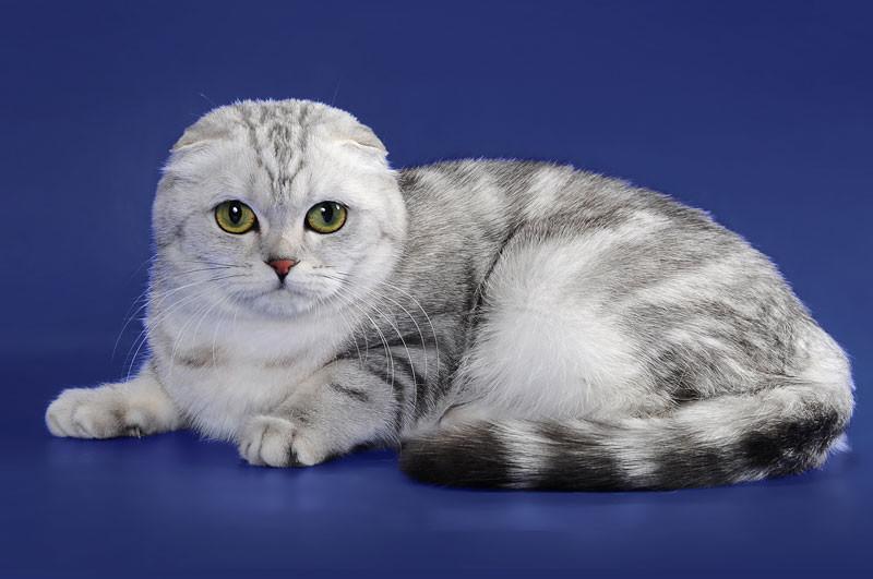порода кошек шотландцы картинки некоторым данным