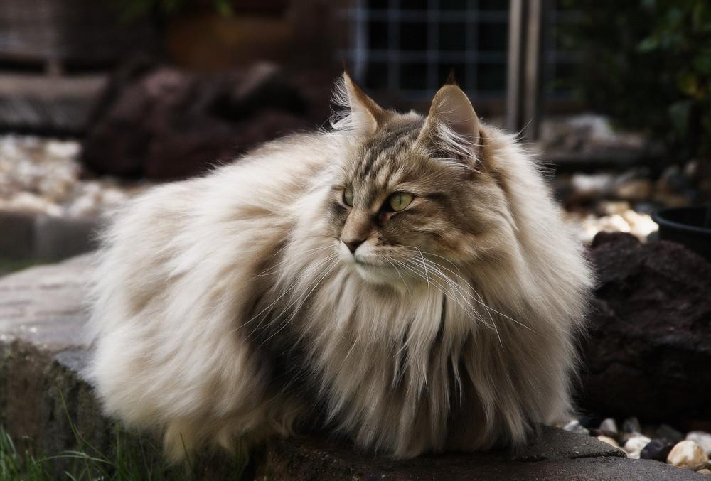 приборы анализируют норвежская лесная порода кошек фото и описание садовая