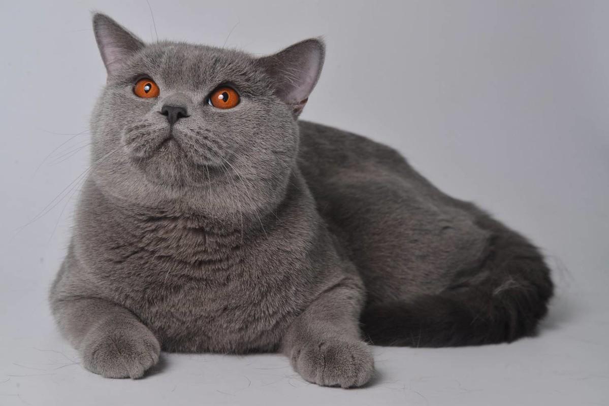 блистательных британский прямоухий кот в картинках коттеджей кирпича