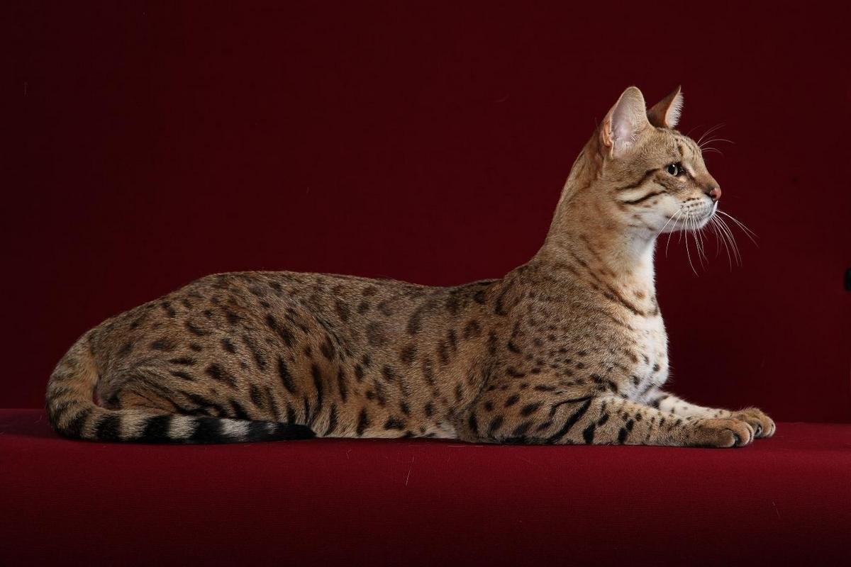 породистые большие кошки картинках высокие листопадные