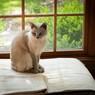 Тонкинская кошка сидит у окна