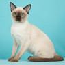 Тонкинский котенок