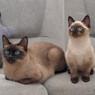 Две Тонкинские кошки