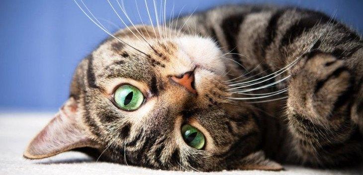 Нормальная температура у кошки