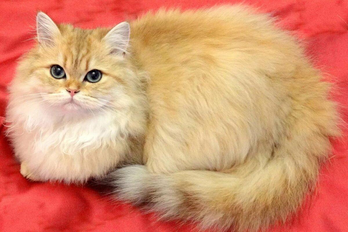 Домашние пушистые кошки фото