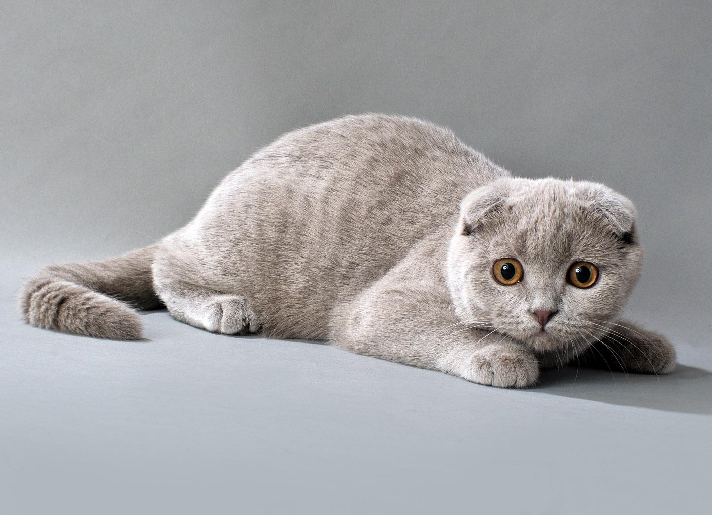 Фотографии редких пород кошек